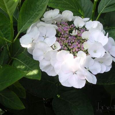 Hydrangea macrophylla 'Teller White' - Hortensia - Hydrangea macrophylla 'Teller White'
