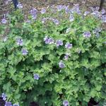 Geranium renardii 'Stephanie' - Ooievaarsbek - Geranium renardii 'Stephanie'