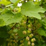 Aalbes, Rode bes - Ribes rubrum 'Jonkheer van Tets'