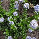Amerikaanse sering - Ceanothus repens 'Blue Mound'