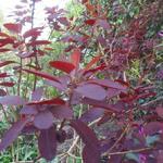Cotinus coggygria 'Royal Purple' - Pruikenboom - Cotinus coggygria 'Royal Purple'