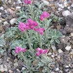 Antennaria dioica 'Rotes Wunder' - Antennaria dioica 'Rotes Wunder' - Rozenkransje