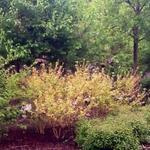 Cornus sanguinea 'Midwinter Fire' - Rode kornoelje - Cornus sanguinea 'Midwinter Fire'