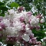 Sering - Syringa vulgaris 'Beauty of Moscow'