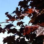 Acer platanoides 'Royal Red' - Acer platanoides 'Royal Red' - Noorse esdoorn