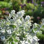 Helichrysum petiolare - Helichrysum petiolare - Kerrieplant