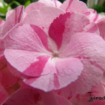 Hydrangea macrophylla 'Sweet Fantasy Pink' -