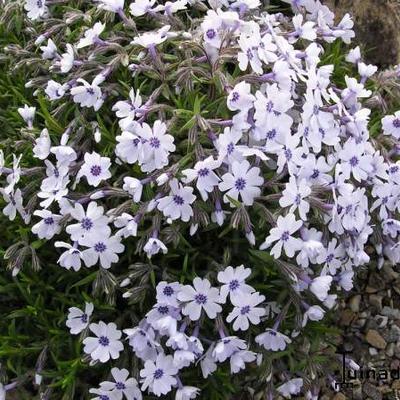 Phlox subulata 'Bavaria' - Kruipphlox - Phlox subulata 'Bavaria'