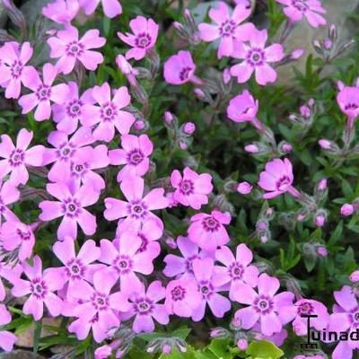 Phlox subulata 'Purpurteppich' -