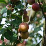 Pruimelaar - Prunus domestica 'Reine Claude d'Althan'