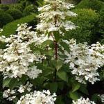Pluimhortensia  - Hydrangea paniculata 'Wim's Red'