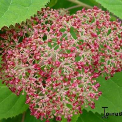 Hydrangea arborescens 'Pink Annabelle'  -