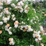 Roos, klimroos - Rosa 'Ghislaine de Feligonde'
