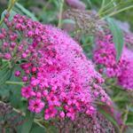 Spiraea japonica 'Anthony Waterer' - Spierstruik - Spiraea japonica 'Anthony Waterer'