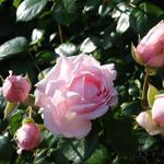 Roos, klimroos - Rosa 'New Dawn'