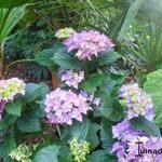 Hydrangea macrophylla 'Early Blue' - Hortensia, Bolhortensia - Hydrangea macrophylla 'Early Blue'