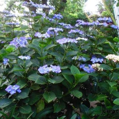 Hydrangea macrophylla 'Zorro' -