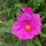 Cistus x pulverulentus 'Sunset' - Rotsroos - Cistus x pulverulentus 'Sunset'
