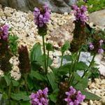 Prunella grandiflora - Bijenkorfje/Heelkruid - Prunella grandiflora