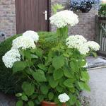 Hydrangea arborescens 'Strong Annabelle' - Hortensia - Hydrangea arborescens 'Strong Annabelle'