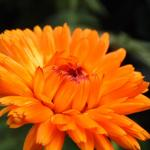 Calendula officinalis - Calendula officinalis - Goudsbloem