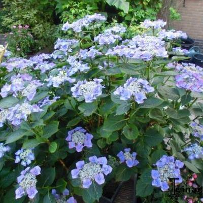 Hydrangea macrophylla 'Teller Blue' - Hortensia - Hydrangea macrophylla 'Teller Blue'