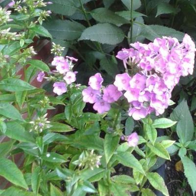 Phlox paniculata 'Lilac Time' - Vlambloem, Floks - Phlox paniculata 'Lilac Time'