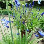 Agapanthus 'Blue Giant' - Afrikaanse lelie - Agapanthus 'Blue Giant'
