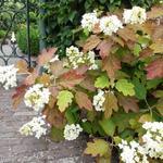 Eikenbladhortensia - Hydrangea quercifolia 'Sikes Dwarf'