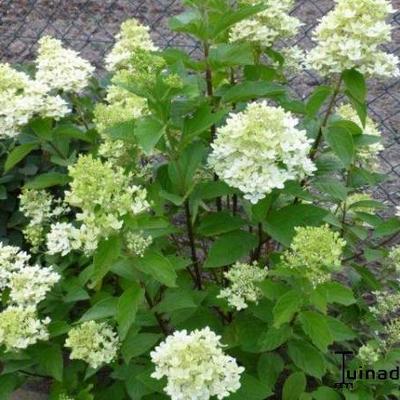 Hydrangea paniculata 'MAGICAL Candle' -