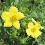 Potentilla fruticosa 'Kobold' - Struikganzerik - Potentilla fruticosa 'Kobold'