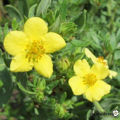 Potentilla fruticosa 'Kobold' -