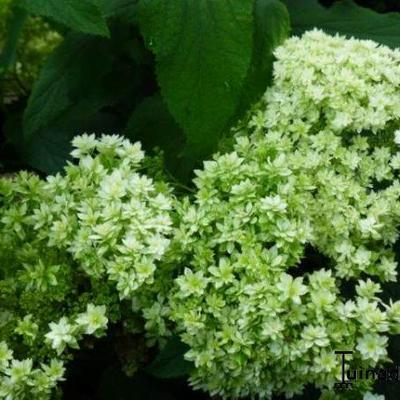 Hydrangea arborescens 'Hayes Starburst' -