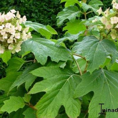 Hydrangea quercifolia 'Burgundy' -