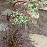 Lampepoetsersgras - Pennisetum x advena 'Rubrum'