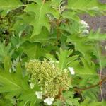 Eikenbladhortensia - Hydrangea quercifolia 'Ice Crystal'