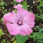 Lavatera trimestris - Lavatera trimestris - Bekermalva / Grootbloemige Lavatera