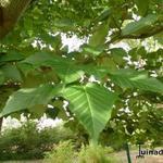 Acer capilipes - Acer capilipes - Slangenhuidesdoorn