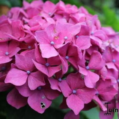 Hydrangea macrophylla 'Leuchtfeuer' - Hortensia - Hydrangea macrophylla 'Leuchtfeuer'