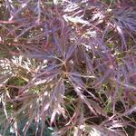 Acer palmatum 'Garnet' - Japanse esdoorn - Acer palmatum 'Garnet'
