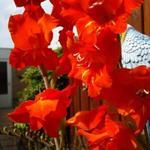 Gladiolus - Gladiolus - Gladiool