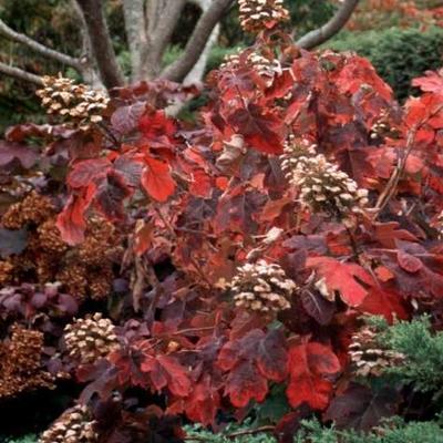 Hydrangea quercifolia 'Snowqueen' - Eikenbladhortensia - Hydrangea quercifolia 'Snowqueen'