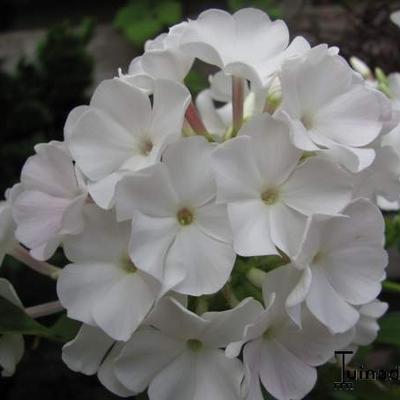 Phlox paniculata 'White FLAME' -
