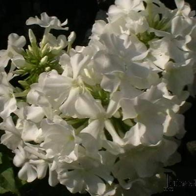 Phlox paniculata 'Daniëlle' -