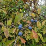 Sleedoorn - Prunus spinosa