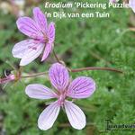 Erodium 'Pickering Puzzle'  - Erodium 'Pickering Puzzle'  - Reigersbek