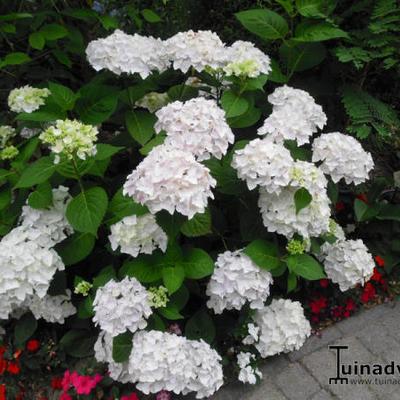 Hydrangea Macrophylla 'ENDLESS SUMMER The Bride'  -