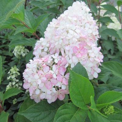 Hydrangea paniculata 'Vanille Fraise' - Hortensia - Hydrangea paniculata 'Vanille Fraise'