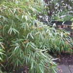 Fargesia rufa - Bamboe - Fargesia rufa