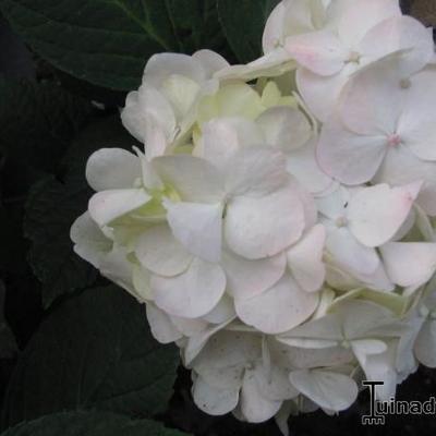 Hydrangea macrophylla 'Mme Emile Mouillère' - Hortensia - Hydrangea macrophylla 'Mme Emile Mouillère'